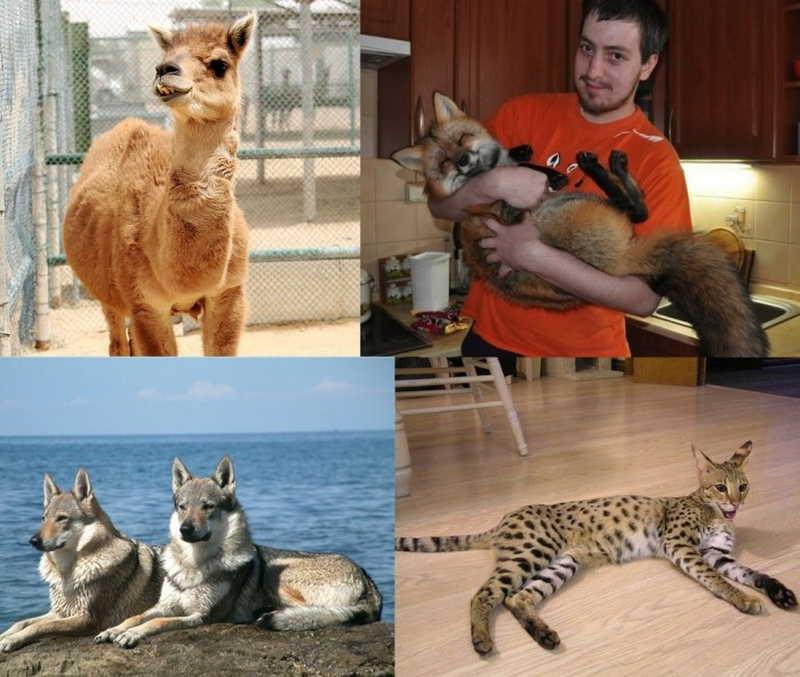 Название больших пород кошек и фото