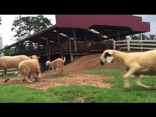 Aviasales и овцы