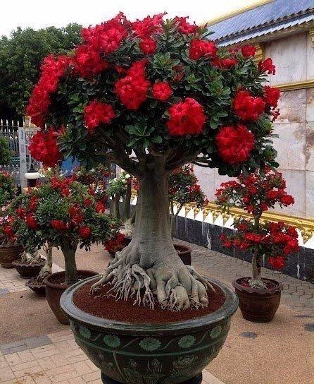 пустынная роза фото