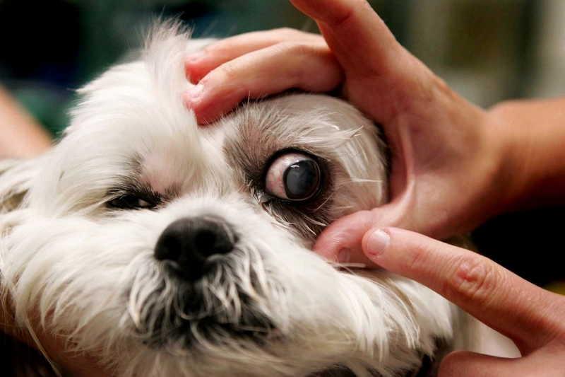 Хламидиоз у собак симптомы