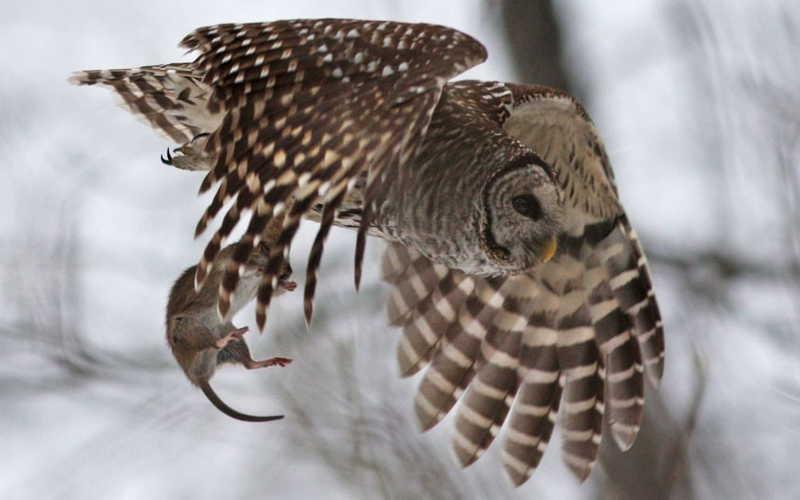 сова ловит добычу