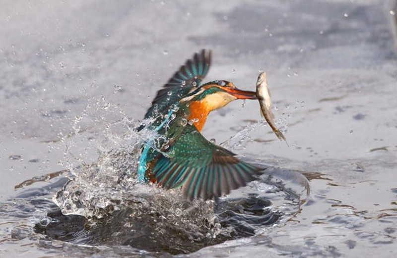 Kingfisher catching fish